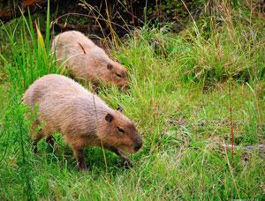 capybara_300.jpg