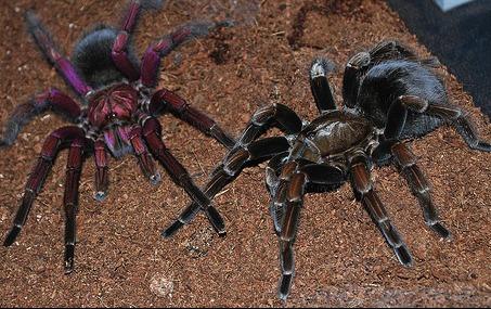 tarantulas.jpg