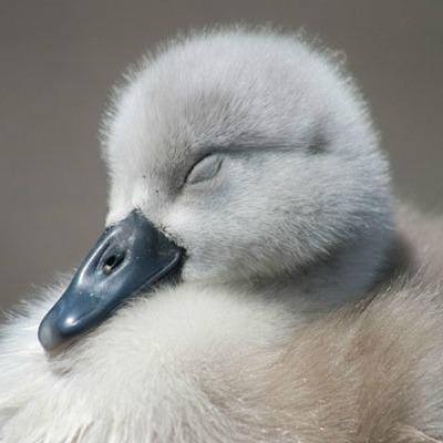 cygnet.baby.swan.jpg