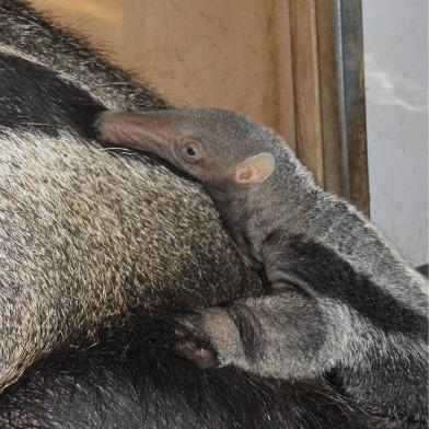 Baby-Giant-Anteater.jpg