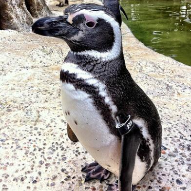 sfzoo.penguin.jpg
