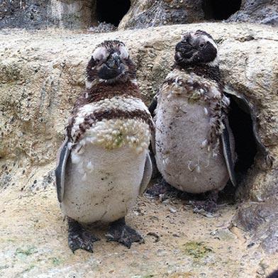 Magellanic_Penguins_cr_sfzoo.jpg