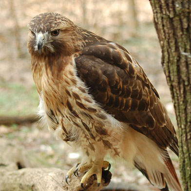 Red_tailed_Hawk.jpg
