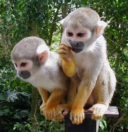 2-squirrel-monkeys.jpg