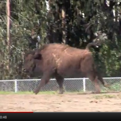 new.bison.jpg