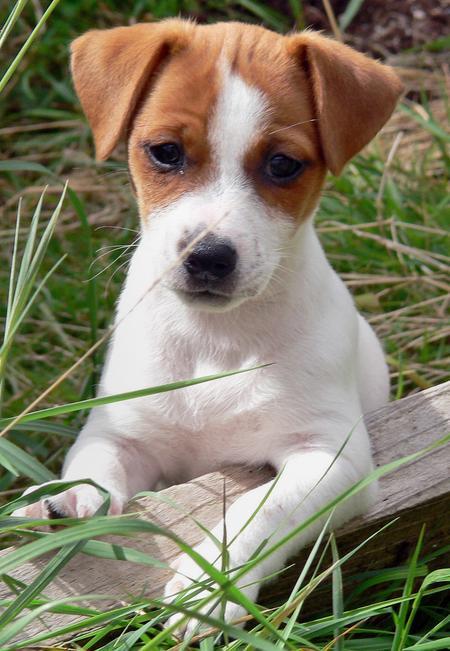 lola-and-eddie-the-jack-russell-terriers_33535_2009-08-27_w450.jpg