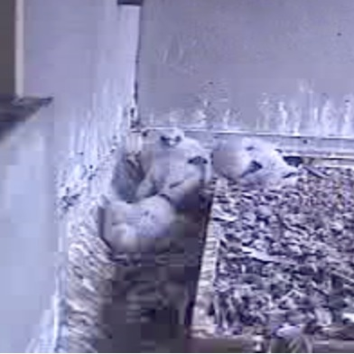 baby.falcons.4.22.jpg