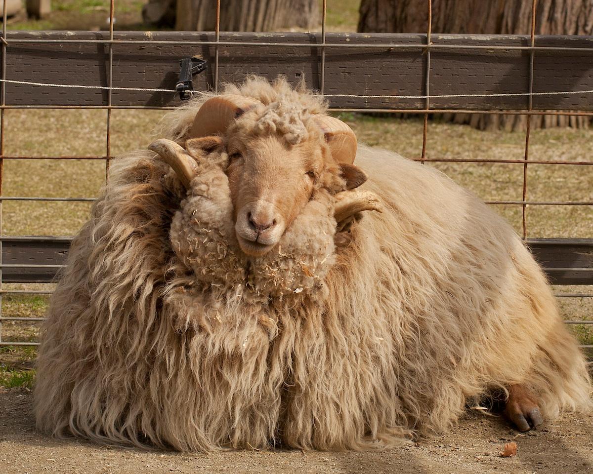 hale_sheep2.jpg