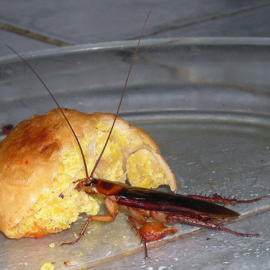 big.cockroach.jpg