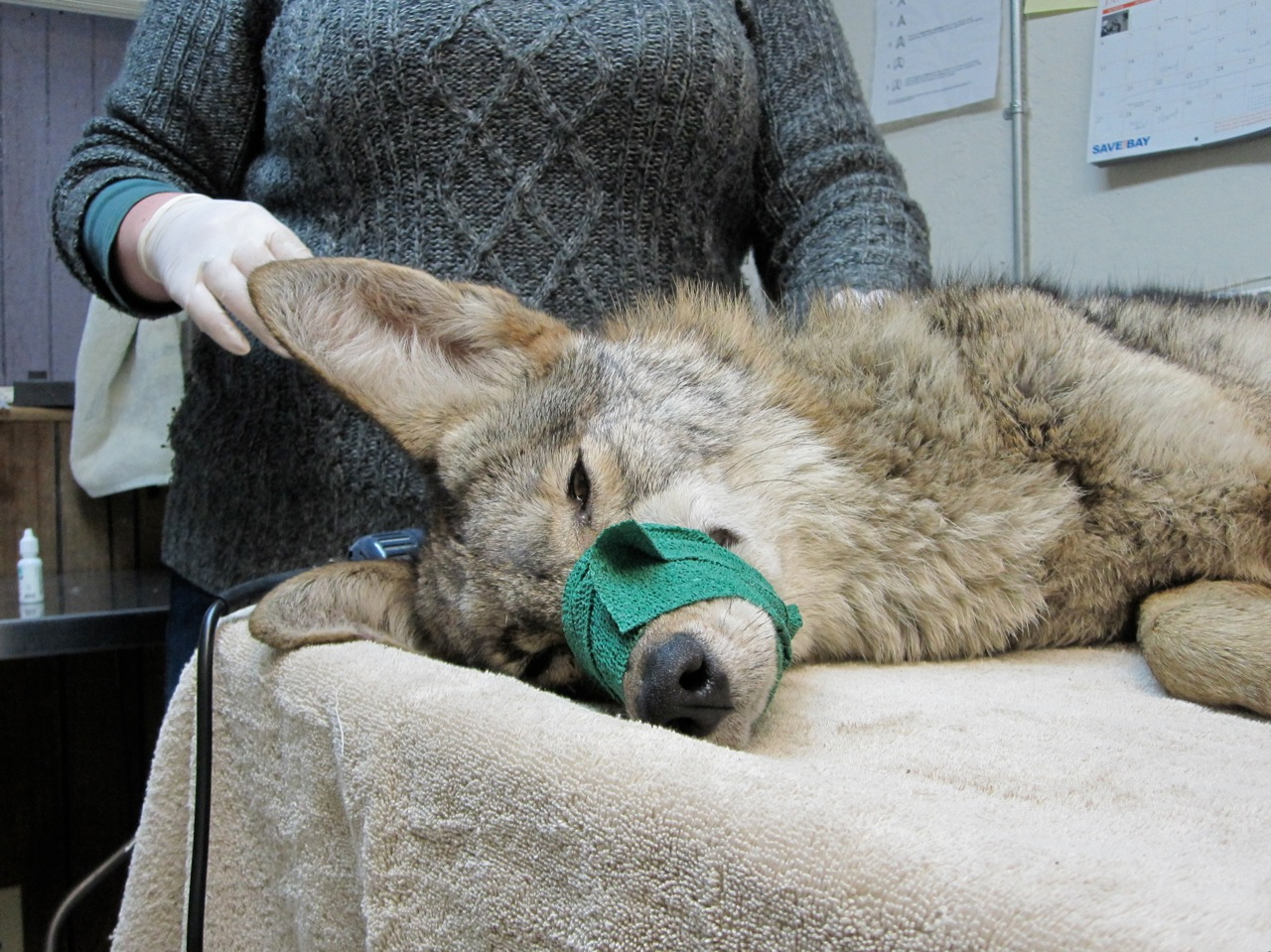coyote01.31.13.jpg