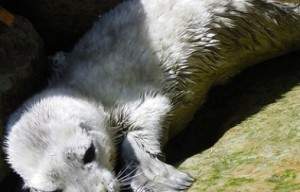 Beachgoers Warned To Avoid Harbor Seal Pups