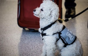 SFO Travelers Flocking To Therapy Dogs For Cuddles, Petting