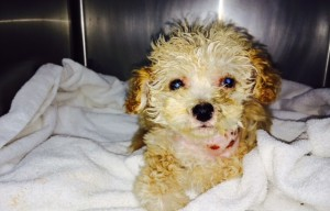 The ACC Wants To Know Who Threw This Injured Puppy In The Trash