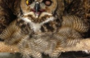 One-Eyed Owl Returns To Glen Canyon Park