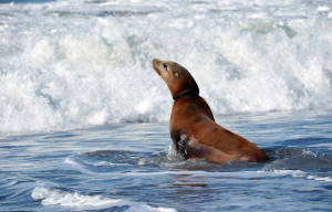 Celebrations Planned For This Weekend To Honor SF's World Famous Sea Lions