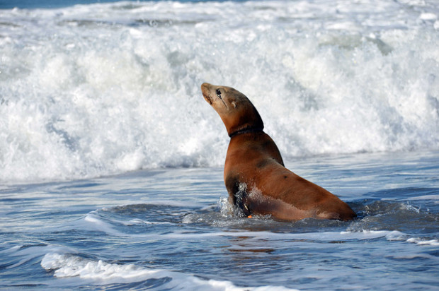 Sea Lion Found in Marina District This Morning
