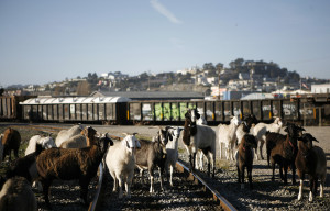 Meet SF's Landscaping Goats This Weekend
