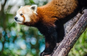 Local Philanthropist Pays $31,000 To Name SF Zoo's Red Panda