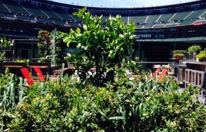 Giants' 4,320 Square Foot Edible Garden Opens at AT&T Park