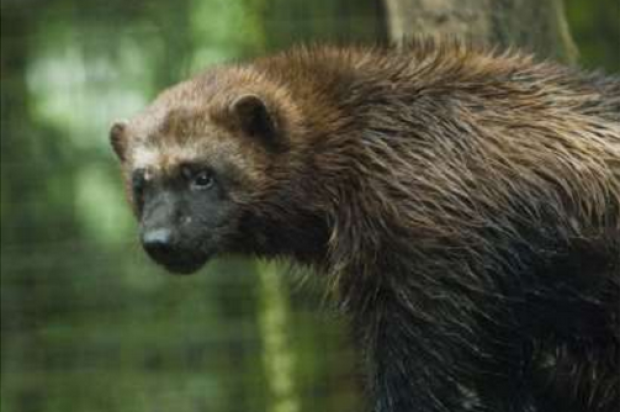 Meet The SF Zoo's Visiting Wolverines This Weekend