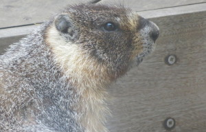 Potrero Hill Marmot Returns To Home Turf, Promptly Tries To Get Into Prius