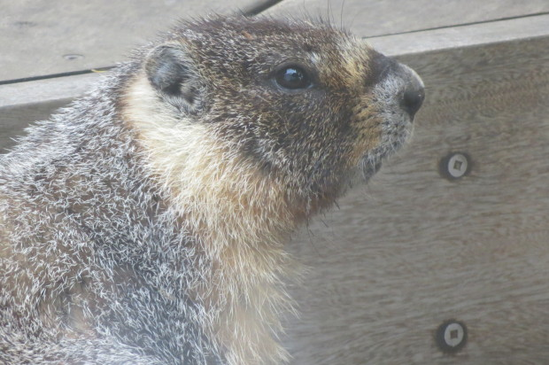 Wildlife Group in Search of Marmot Spotted in Potrero Hill