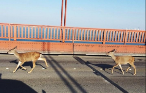 "Northbound Deer ""Created Their Own Traffic Break"" On Golden Gate Bridge Friday"