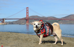 "Frida The Chihuahua Is San Francisco's ""Mayor"" Today"