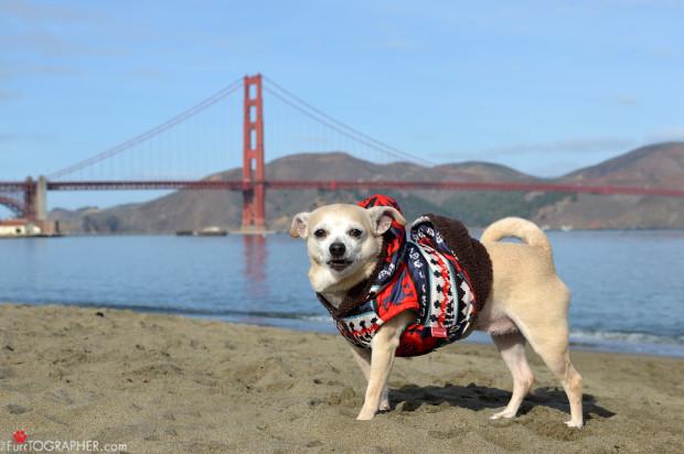 "Frida The Chihuahua Is San Francisco's ""Mayor"" Today"
