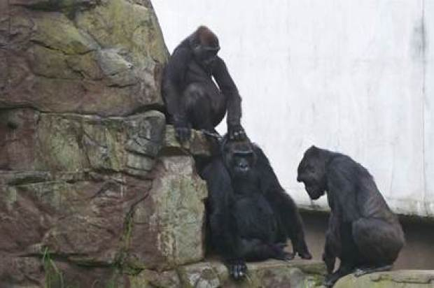 SF Zoo Staff Monitoring Gorilla Troop After Accidental Death of Young Member
