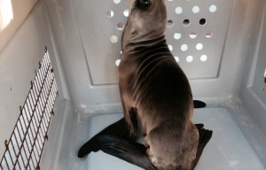 Sea Lion Pup Rescued From Roadway Near Fort Funston