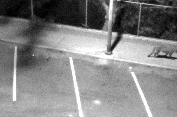 Mountain Lion Sightings From Last Week Confirmed by Surveillance Footage