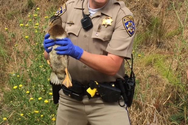 Duckling Released Into Wild After CHP Officers Save Siblings