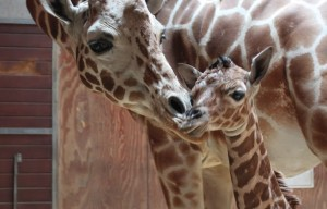 Baby Giraffe Born At Zoo