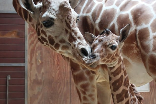Baby Giraffe Born At Zoo